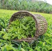 Những công dụng tuyệt vời của lá trà xanh
