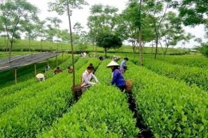 Trà Lài, Trà ướp hương Nhài, Trà Sâm Dứa, Trà hương Sen dùng pha trà đá cho quán cafe nhà hàng, quán ăn