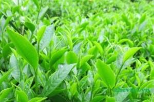 Tuyển đại lý, cửa hàng phân phối trà đen, trà xanh hướp hương, hồng trà, lục trà trên toàn quốc