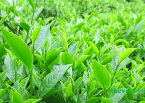 Cung cấp trà đen, hồng trà, trà thái xanh, bột trà xanh matcha chất lượng nhất